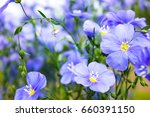 A Field Of Blue Flax Blossoms...