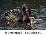 A Black Swan With A Cygnet In...