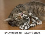 Stock photo a gray tipped cat plays with a cat toy 660491806