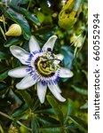 Small photo of Passionflower - Passiflora caerulea