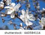 A White Magnolia Flower On A...