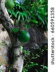 Small photo of Crescentia cujete, Berenuk, Aegle marmelos, maja