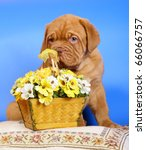 Bordeaux puppy dog with a basket of flowers - stock photo