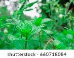fresh green paper mint grow for ... | Shutterstock . vector #660718084