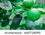 fresh lime and green lemon on... | Shutterstock . vector #660718090