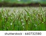 fresh grass with dew drops...   Shutterstock . vector #660732580