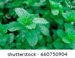 fresh green pepper mint grow... | Shutterstock . vector #660750904