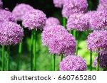 Purple Allium Lucy Ball Flower...