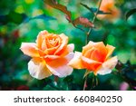 Orange rose in garden.  orange...