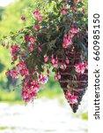 Hanging Fuchsia Flowers In...