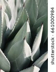 Small photo of Agave parryi closeup