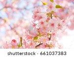pink sakura blossom branch... | Shutterstock . vector #661037383