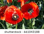 Closeup Of Corn Poppy With...