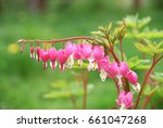 pretty pink bleeding heart bush ... | Shutterstock . vector #661047268