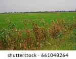 Small photo of weeds are dying from herbicide,weed killer