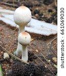 Small photo of Death cap Mushrooms. Amanita phalloides.