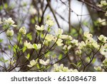 blooming white and yellow... | Shutterstock . vector #661084678