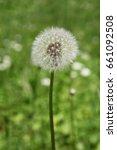 white dandelion flower | Shutterstock . vector #661092508