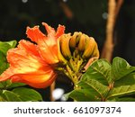 Small photo of African Tulip Tree Flower. Spathodea campanulata. flowers of african tulip tree. Spathodea flowers. African tulip tree. Fire bell. Flame of the Forest