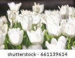 white tulips field   Shutterstock . vector #661139614
