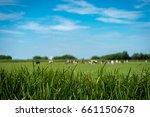 cows in a meadow in terherne ... | Shutterstock . vector #661150678