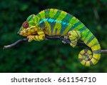 Chameleon Furcifer Pardalis...