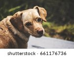 portrait of a small beige dog... | Shutterstock . vector #661176736