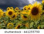 Tuscany Sunflower Field  Large...