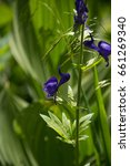Small photo of Western Monkshood (Aconitum columbianum) Purple Flower in front of Corn Lily Foliage in the Sierra Nevada Mountains on the John Muir Trail. California.