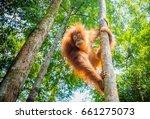 Orangutan In The Jungle Of...