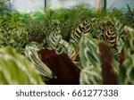 peacock plants  calathea... | Shutterstock . vector #661277338
