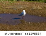 Small photo of A beautiful seagull seabird of the family Laridae in the sub-order Lari reflected in the muddy puddle is enjoying a cool sip of water in the parking area on a spring morning.