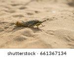 Desert Locust And Grasshopper...