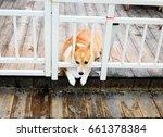 Fat Corgi At The White Fence