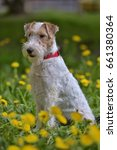 Small photo of White with red airedale terrier among yellow dandelions