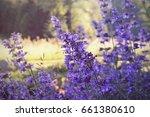 nepeta  catnip flower | Shutterstock . vector #661380610