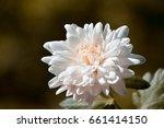 lush bright pink chrysanthemum... | Shutterstock . vector #661414150