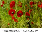 red poppy in the spring evening | Shutterstock . vector #661465249