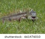 Smiling Male Iguana In Green...