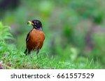 One Bird  American Robin  On...