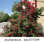 Stock photo red rose bush in the shape of number at a house corner the lucky accidental angle made the 661577299