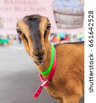 Small photo of MONTGOMERY, ALABAMA - JUNE 17, 2017: American Lamancha Goat: Adorable pet American Lamancha goat at a farmers market in Montgomery, Alabama.