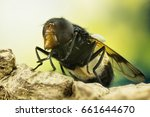 Small photo of Pellucid Fly, Pellucid Hoverfly, Fly
