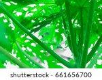 single green papaya top tree... | Shutterstock . vector #661656700