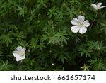 White Geranium Blooms Against...