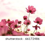 Cosmos Flowers In Blooming Wit...