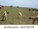 Kangal Dog  Sivas  Turkey
