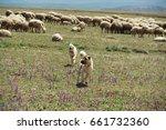 Kangal Dogs  Sivas  Turkey