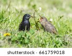 Common Starling Feeding Baby
