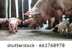 piglets and mother pig | Shutterstock . vector #661768978